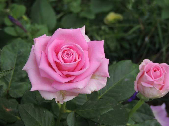 Роза Аква (Aqua) фото и описание, защита от вредителей, укрытие на зиму