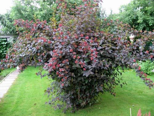 Пузыреплодник относится к роду листопадных кустарников семейства Розовые