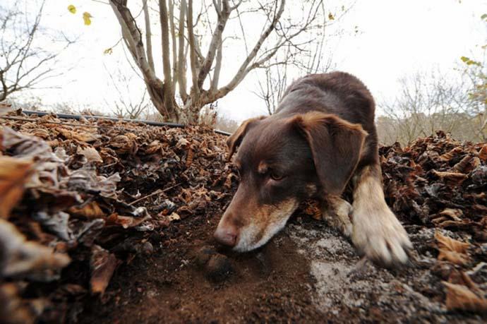 Часто человеку помогают искать трюфели животные, способные учуять их