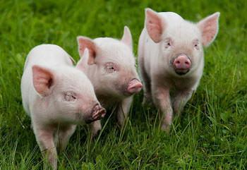 Разведение свиней – занятие не особо сложное и очень прибыльное