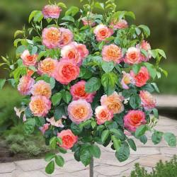 Выращивание розы на штамбе – популярный вариант оформления в саду