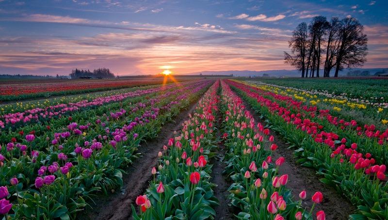 Тюльпаны: рекомендации по выращиванию и уходу