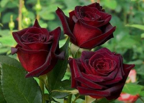 сорт розы блэк баккара
