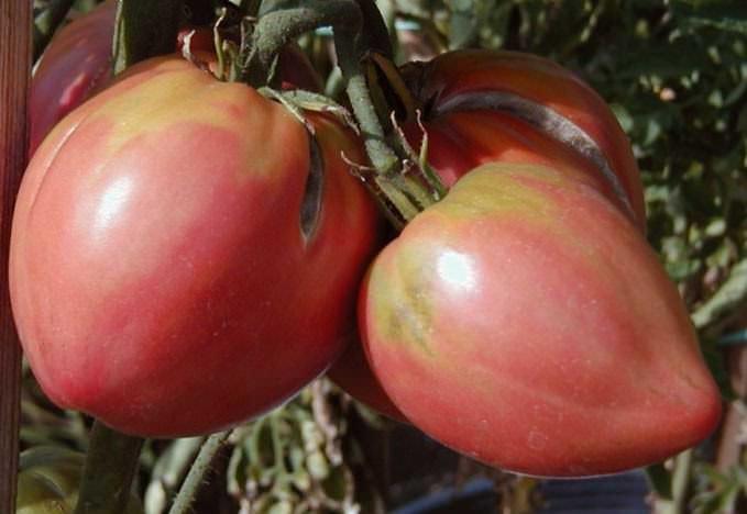 Томаты Бычье сердце очень популярны и востребованы у огородников нашей страны