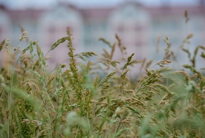 Овсяница луговая относится к категории неприхотливых газонных трав