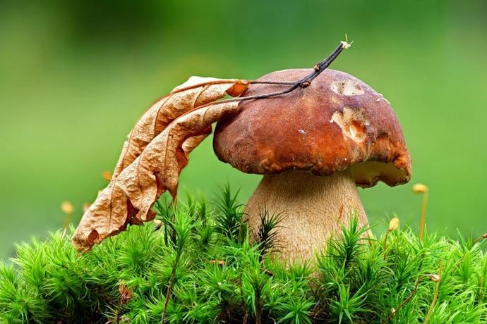 Пик плодоношения белых грибов приходится на последние числа июля – первую декаду сентября