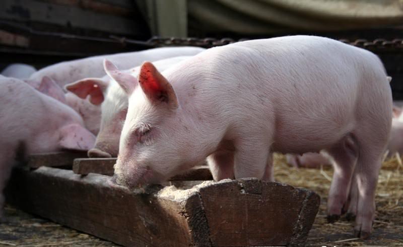 Откорм свиней на мясо нужно начинать в три месяца и заканчивать к восьмому месяцу