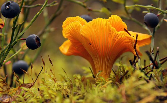 Особенностью грибов лисичек является хороший вкус и внешняя привлекательность, которая при правильном приготовлении сохраняется и уже в готовых блюдах.