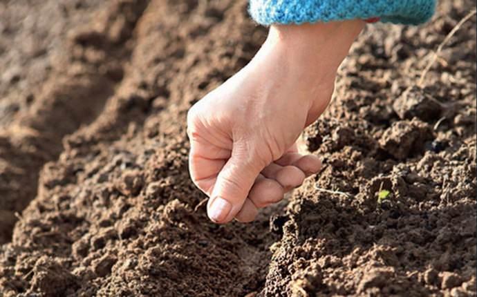 Сеять капустные семена лучше всего ленточным способом, в пару строк