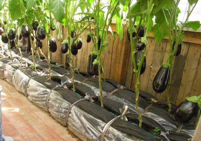 Выращивать баклажаны проще всего в теплице