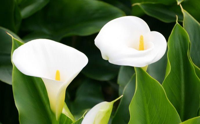 Расцветка покрывала в природе у каллы обычно белая