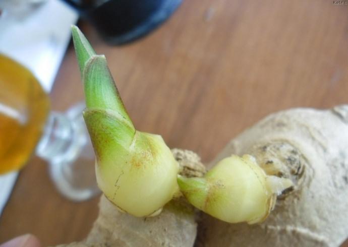 Корень, пригодный для выращивания в открытом грунте или в условиях комнатного цветоводства должен иметь гладкую и шелковистую поверхность, с минимумом волокнистости и значительным количеством здоровых почек