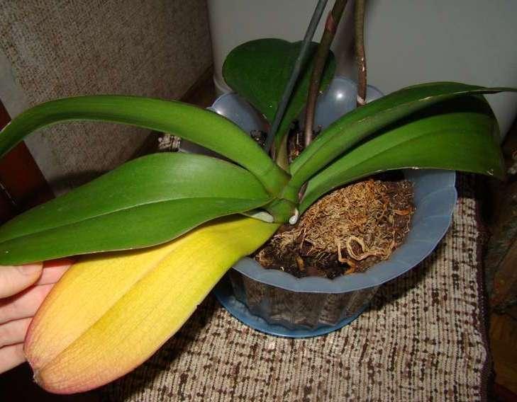 Дендробиум обычно ежегодно меняет листву после цветения