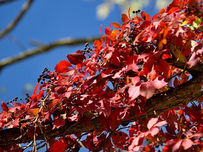 В осенний период листья девичьего винограда приобретают красное или фиолетовое окрашивание
