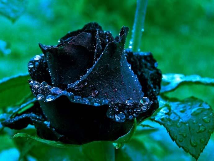 Если вырастить черную розу не представляется возможным, то можно попробовать сделать такой необычный цветок своими руками в домашних условиях
