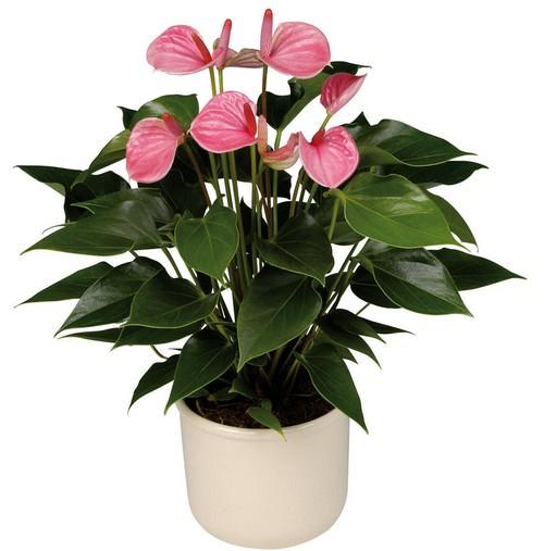 Цветок антуриум — вечнозелёное растение, относящееся к семейству Ароидные