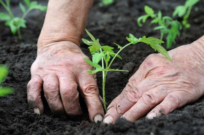 В марте рассаду пересаживают в открытый грунт