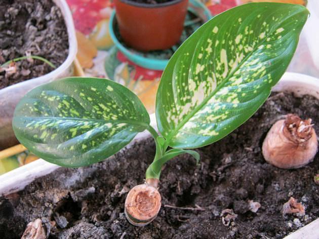 Размножать диффенбахию пятнистую лучше всего стволовой частью, длина которой составляет 5-7 см