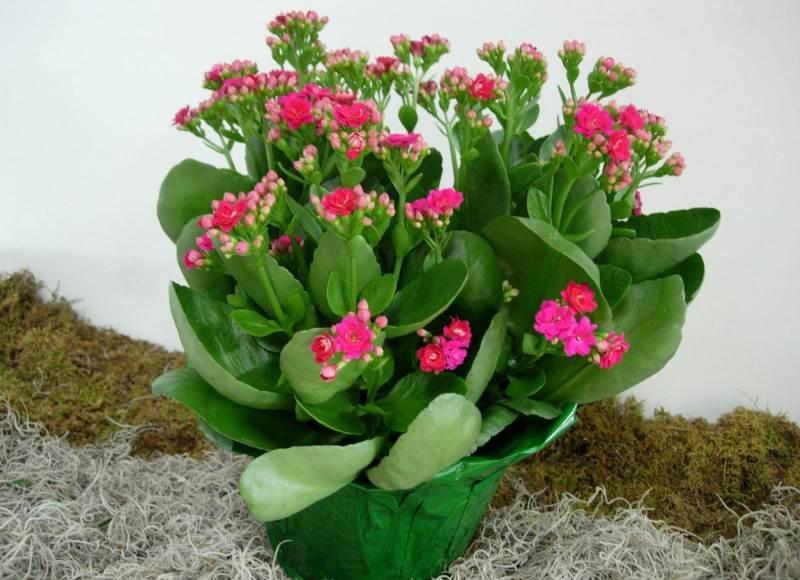 За счет того, что каланхоэ может накапливать воду в своих листочках, полив растения должен быть умеренным, но не чрезмерным
