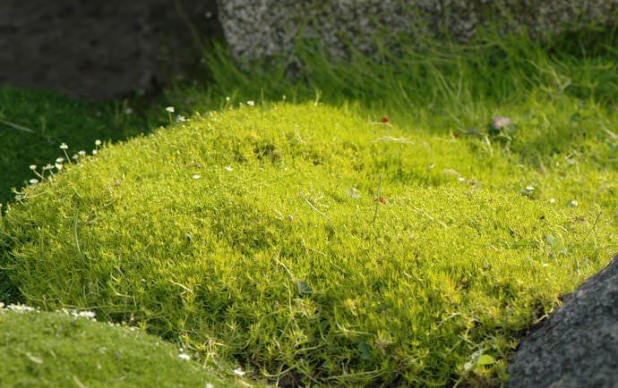Мшанка шиловидная – летнезеленое и зимнезеленое почвопокровное цветочное растение