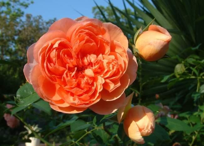 Розы Чарльз Остин и Пэт Остин фото, описание, использование в ландшафтном дизайне, отзывы