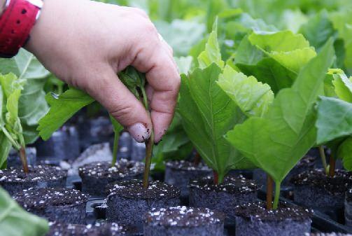 Садовые гибискусы черенкованием размножают летом