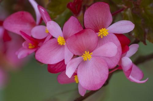 Бегония вечноцветущая – очень популярная культура, выращиваемая в домашних условиях