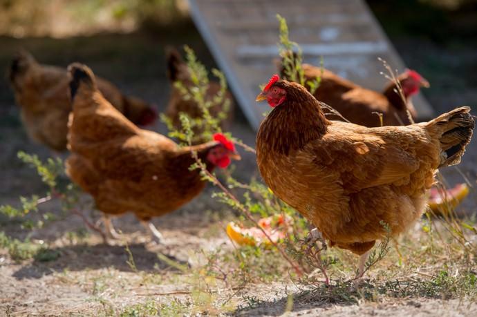 Если кур держат с целью получения яиц, прежде всего, следует правильно подобрать породу птицы