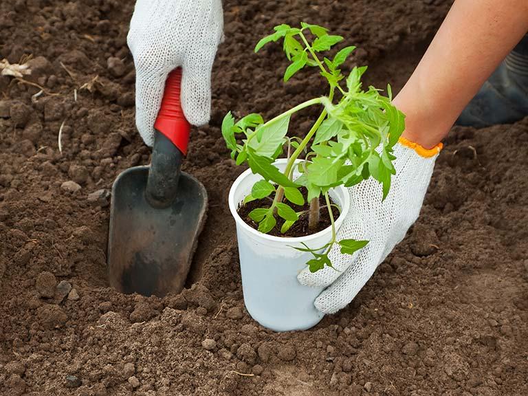 Высаживаемая в открытый грунт рассада томата должна обладать достаточно хорошо развитой корневой системой