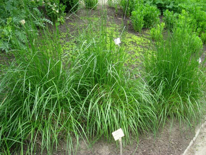 Овсяница является неприхотливым, теневыносливым, быстро разрастающимся растением
