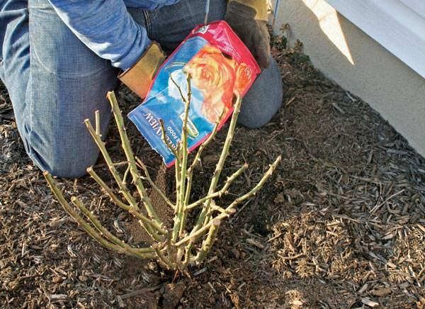 Подкормка любых видов садовых роз на всех стадиях вегетации является залогом обильного и продолжительного цветения