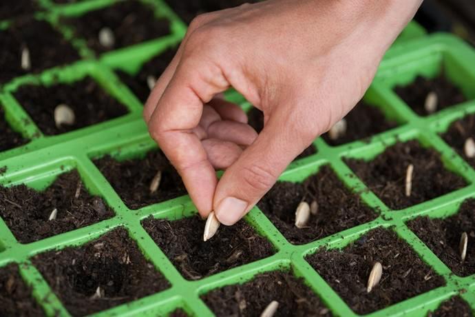 Посадку тыквы на получение рассадного материала следует осуществлять примерно за три недели до сроков высаживания сеянцев огородной культуры на постоянное место