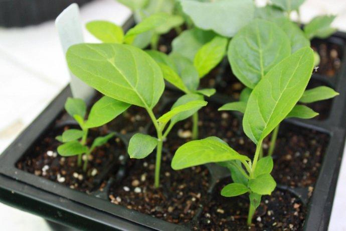 При культивировании баклажана регионах с умеренными климатическими условиями рекомендуется отдавать предпочтение рассадному способу выращивания