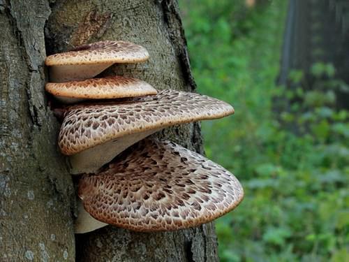Съедобных разновидностей древесных грибов не слишком много