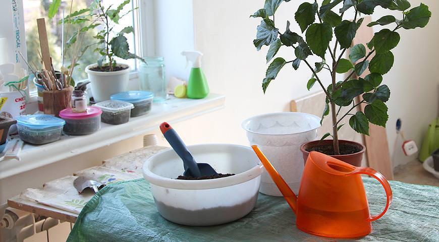 Пересаживание требуется только комнатному гибискусу, который растет в стесненных условиях горшка или кадки