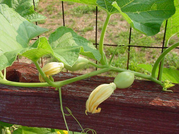 На каждом растении желательно нормировать количество завязей и оставлять, в зависимости от вида и сорта, не более 3-8 завязей
