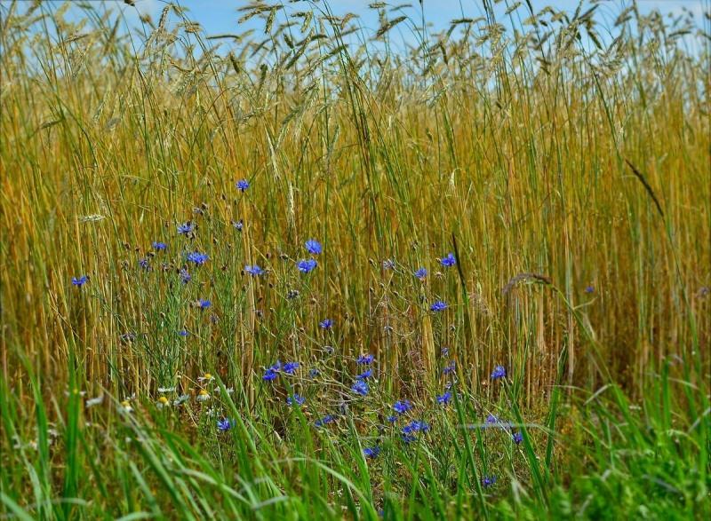 Васильки - одно из самых красивых растений в вашем саду
