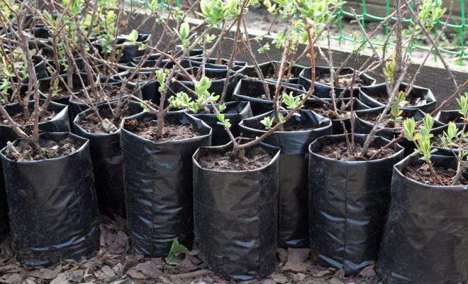 В осенний значительная часть питомников, а также садоводы-любители начинают реализовывать только что выкопанный посадочный материал, что гарантирует богатый выбор и доступную стоимость