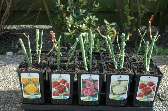 Чтобы не допустить распространения заболевания на розах, необходимо приобретать посадочный материал сортов, которые обладают достаточной генетической устойчивостью к наиболее распространенным грибковым болезням, включая мучнистую росу