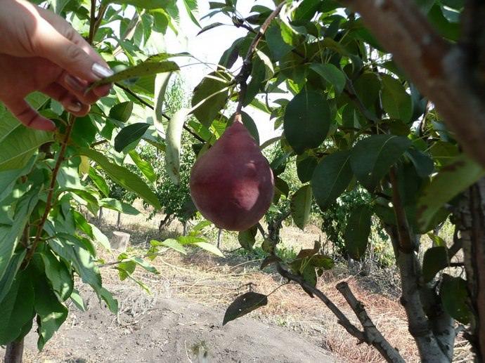 Благодаря слабой рослости и скороплодности сорт относится к категории перспективных груш для использования в интенсивном приусадебном садоводстве
