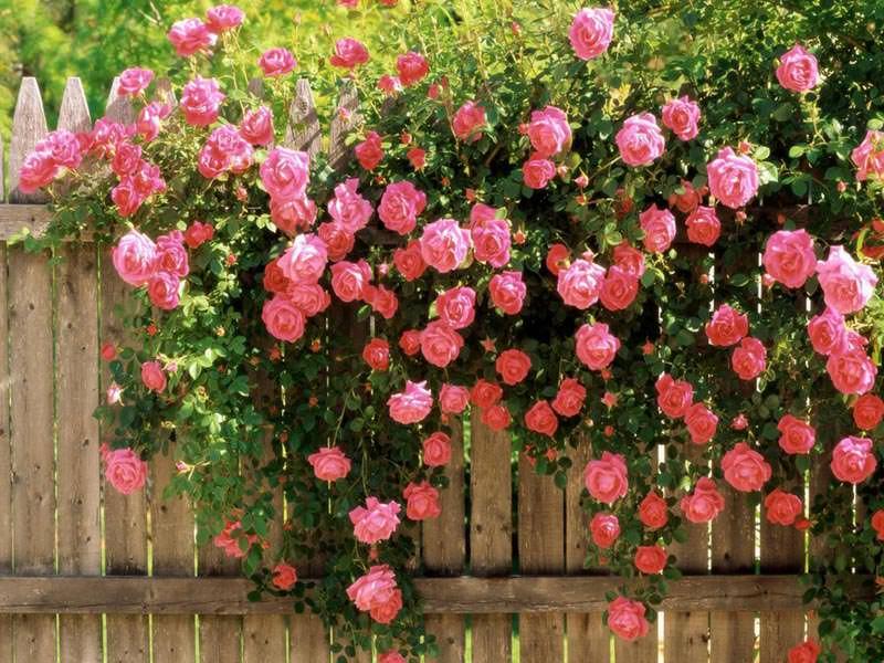 Для большинства сортов кустовых роз достаточно невысоких опорных каркасов