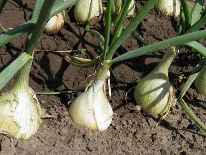 На растениях, формирующих репку для продолжительного хранения, обрывать зеленое перо не рекомендуется