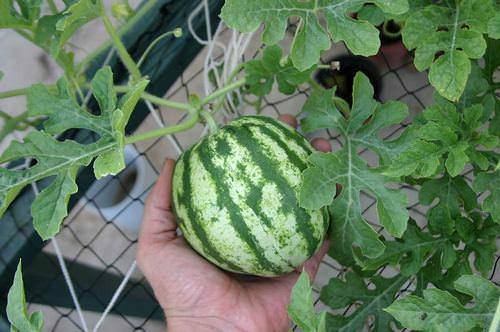 Выращивание на гидропонике арбуза становится с каждым годом все популярнее