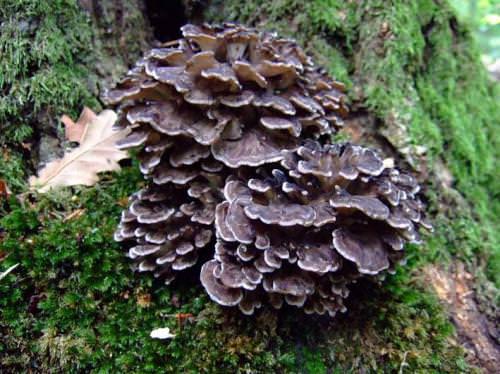 Имеющий очень необычное название гриб-баран специалистам известен как грифола курчавая
