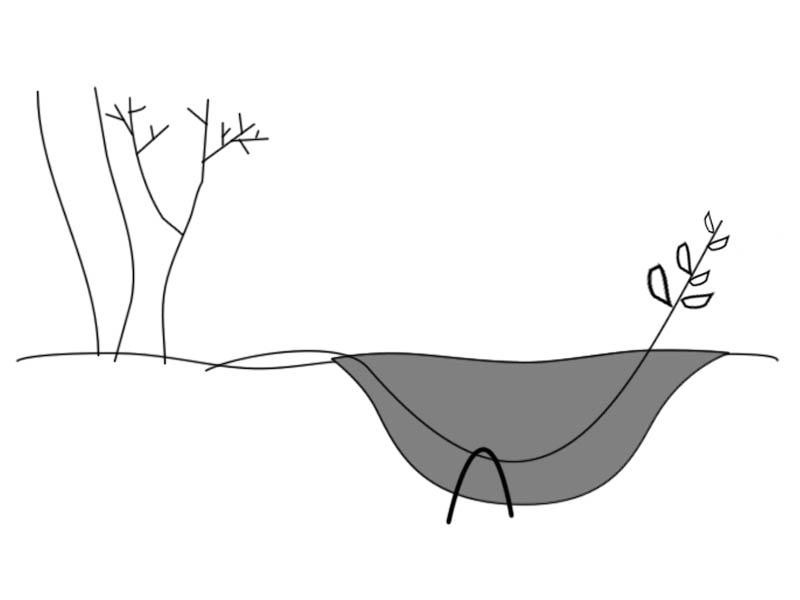 Можно размножать садовую голубику отводками