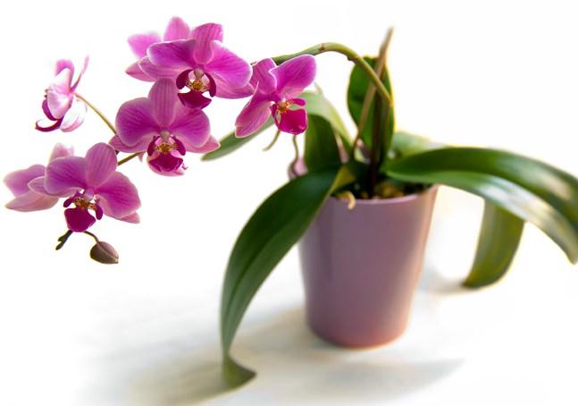 Для теплолюбивой орхидеи важны яркие рассеянные лучи света