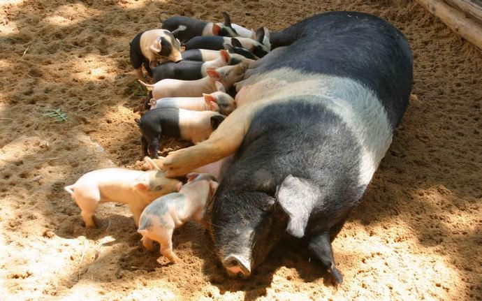 Возраст свиноматки должен быть больше восьми месяцев