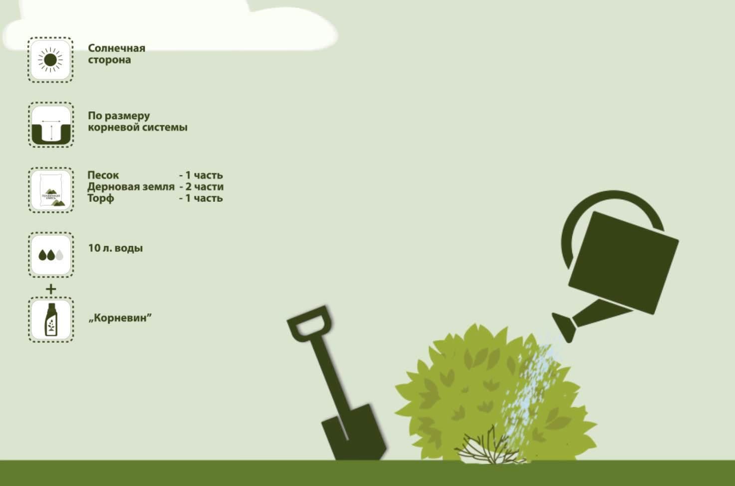 Чтобы спирея Вангутта порадовала своим белоснежным цветением уже следующей весной, ее саженцы высаживают в грунт традиционно осенью, когда растение сбросило свои листья