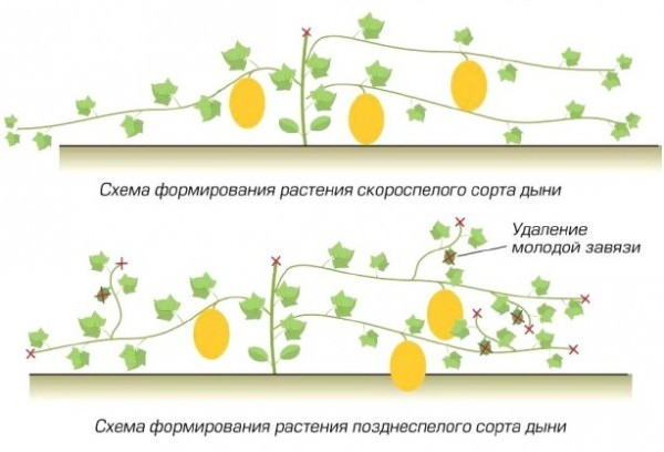 Формирование плодов дыни осуществляется на ответвлениях, растущих в боковом направлении, поэтому главный стебель следует подвергнуть прищипке над пятым листочком