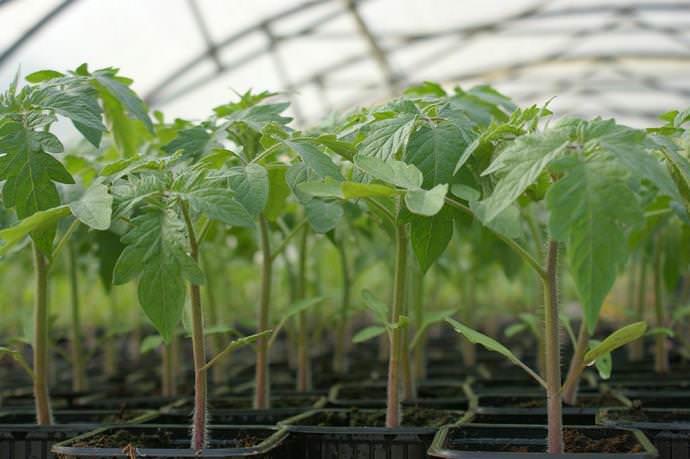 Раннеспелый сорт томата Взрыв рекомендуется выращивать рассадным способом